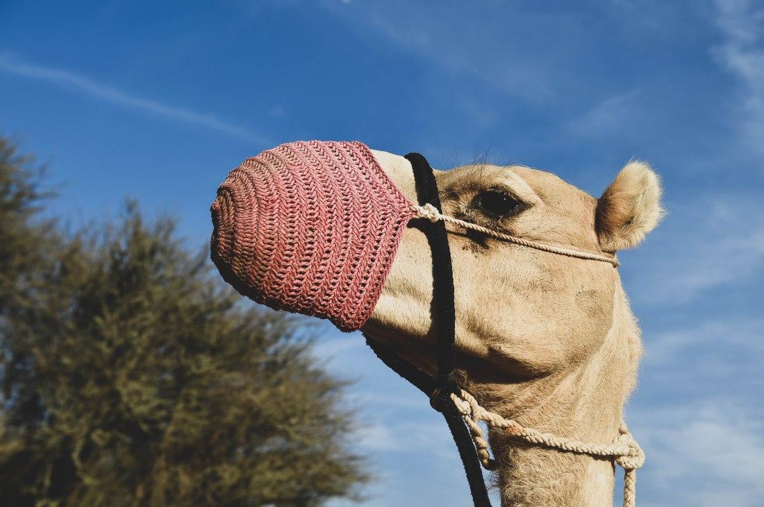 Kamel mit Maulkorb